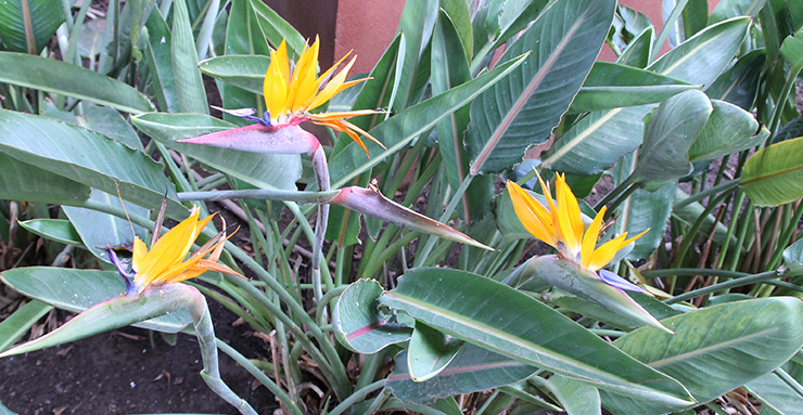 Vignette Les oiseaux du paradis ornent de nombreux jardins des Canaries